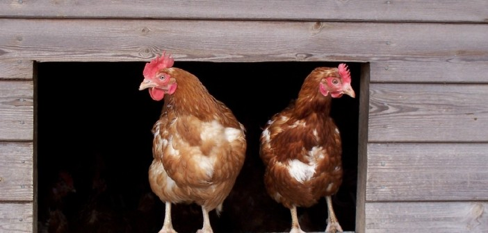 British poultry makes big strides in antibiotic use