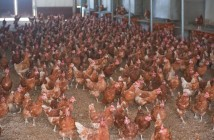 indoor flock