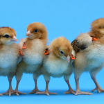 Some chicks genetically modified to lay other breeds' eggs