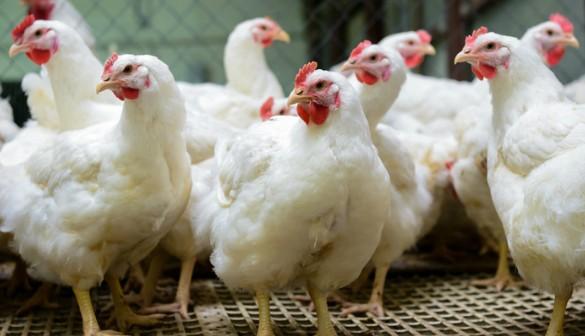 chicken immune
