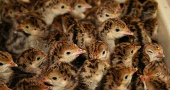 turkey poults