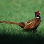 pheasant main