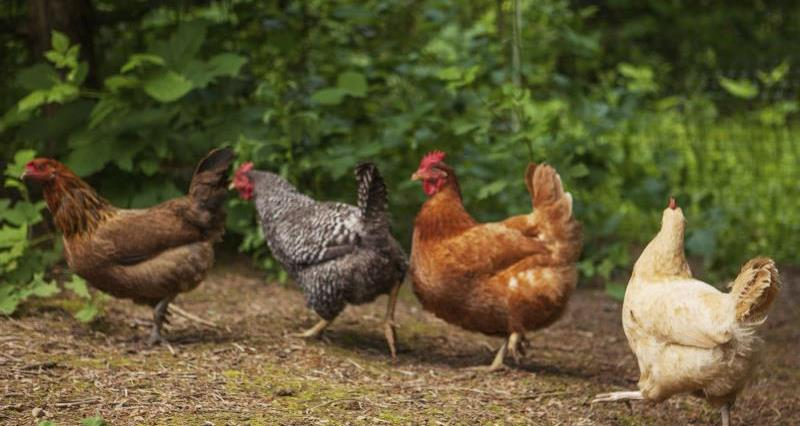 Project launched to help organic poultry farmers with feed | Poultry