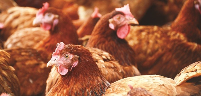 brown chickens