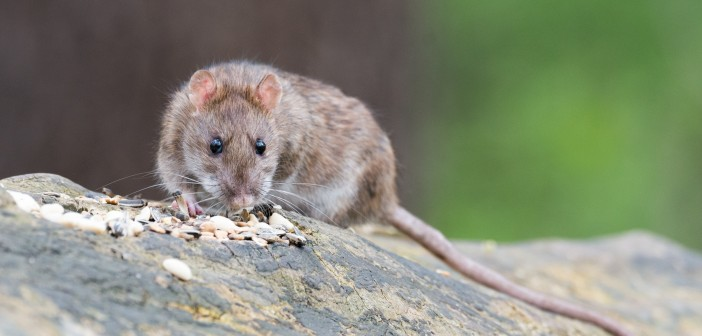 Producers urged to control rodents to prevent avian influenza