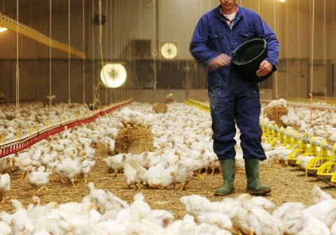 rabobank poultry