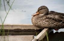 duck pirbright