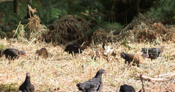 norfolk-black-chickens