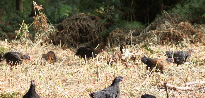norfolk-black-chickens