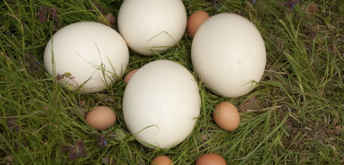 Ostrich eggs Waitrose PR