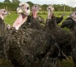 NFU turkeys