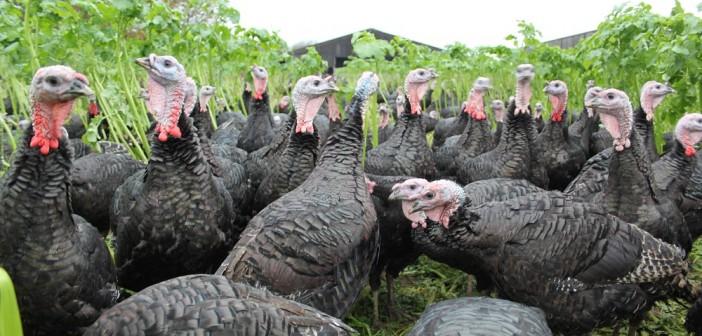 TNP turkey