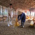 Small chicken farm in Vietnam (small)