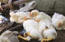 avian disease