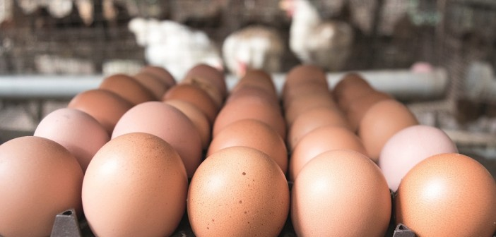 Egg producers told salmonella levels not falling fast enough