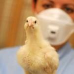 bird flu pic