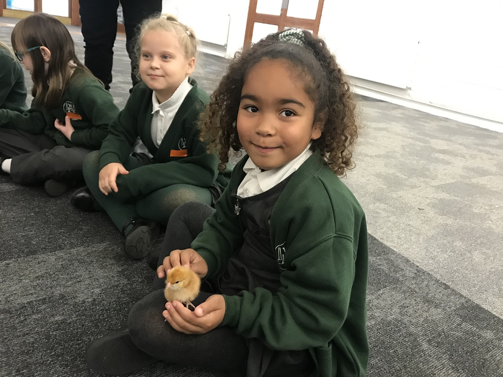 Happy chicks and happy children at Peterborough schools poultry