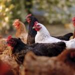 anpario poultry