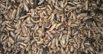 insect protein larave