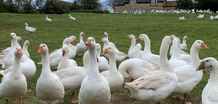 Botteril goose walk