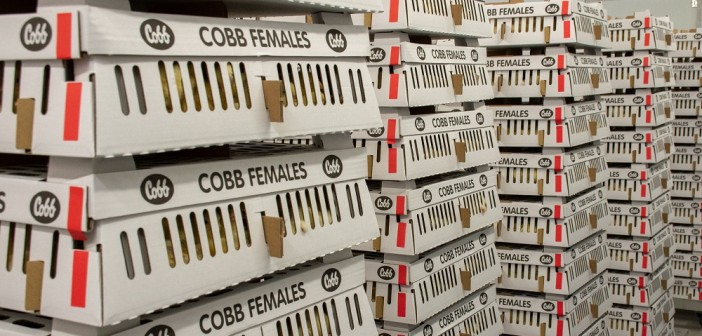 Cobb Female Chicks Prepared for Dispatch