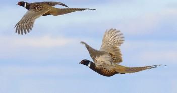 flying pheasants_212857429 crop