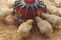 aviagen chick feeding