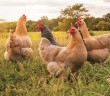 forfarmers chickens