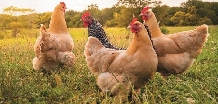 forfarmers chickens