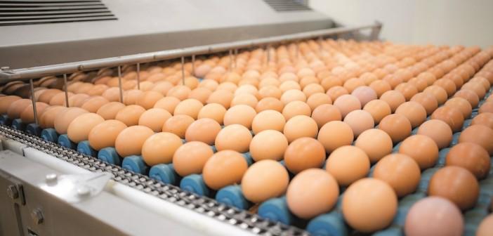 eggs on conveyor