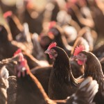 laying hens (2)