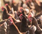Defra considering ban on enriched cages in its animal welfare action plan