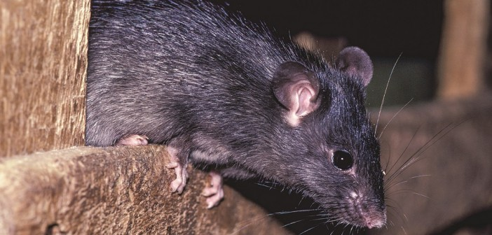 Black Rat Rattus rattus United Kingdom