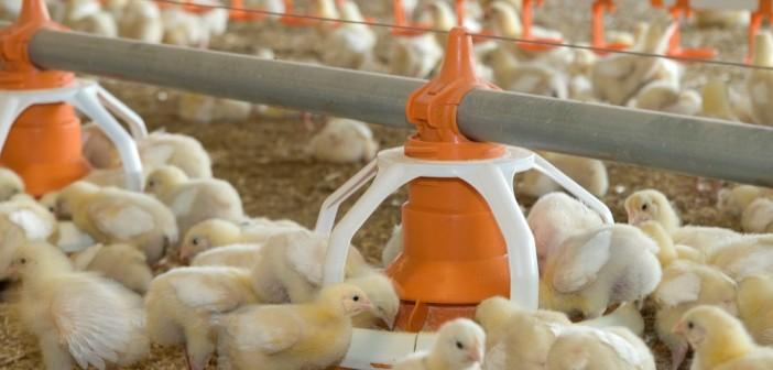 chicks feeding 2