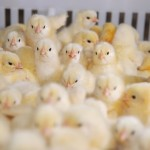 cobb Chicks