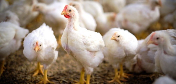 Poultry producers urged to prepared for warmer weather