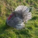 Slate turkey