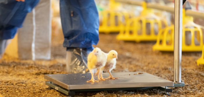 Poultry Sense and Lallemand Animal Nutrition collaborate to improve the efficiency of commercial trials