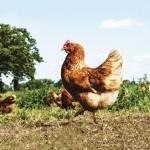 citadel bio_chicken-9906db045104513c