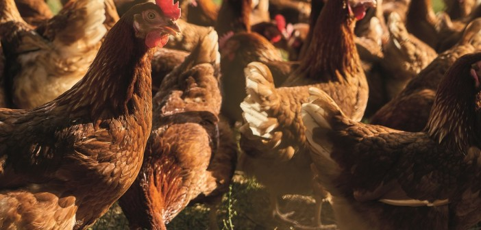 Free-range,Chickens,As,Laying,Hens,On,An,Organic,Chicken,Farm