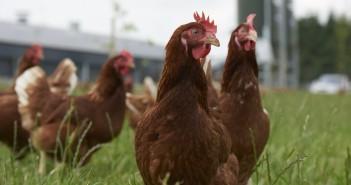 Layer Chickens